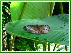 Beautiful butterfly resting on the large ribbed leaf of Calathea lutea (Cigar Calathea, Cuban/Havana Cigar, Pampano)