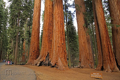 im Sequoia National Park (Mampfred) Tags: park usa tree america general alt natur canyon trail kings national amerika sequoia baum wandern sherman gros kalifornien wanderung stamm mammutbaum touristen hoch riesig nordamerika hchster parkergroup