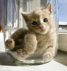 20090601_9999_234b (Fantasyfan.) Tags: pet cute glass topv111 furry topv555 topv333 kitten posing fluffy jar topv777 relaxed tamaki fantasyfanin anilmal keittiötölkki
