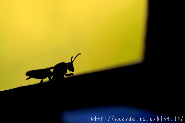セグロアシナガバチ [Polistes jadwigae jadwigae]