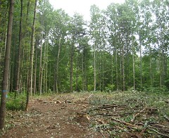 Freshly cleared homesite.