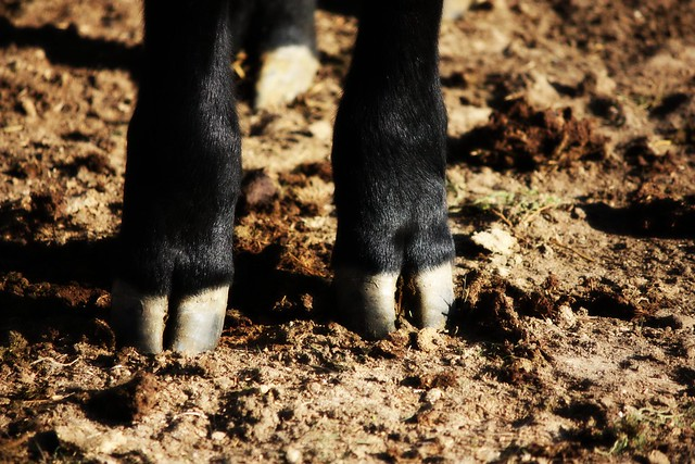cow toes