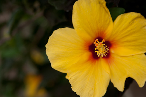 hawaii flower 6
