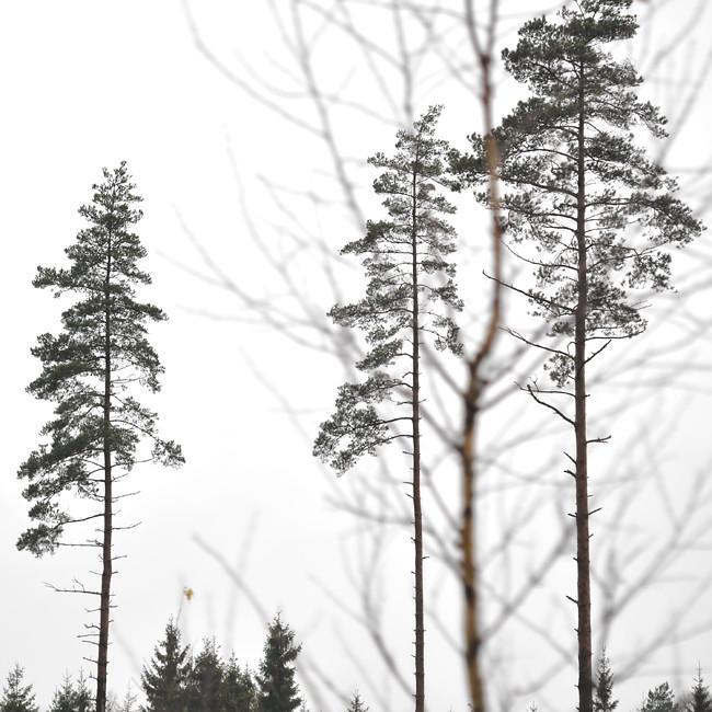 tre träd