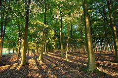 Shadows fall (SimonJX) Tags: autumn trees red sky fence carpet leaf oak hedge oranges reds orang ashridge pitstone cloudssky yellowyellows sunsetleaves