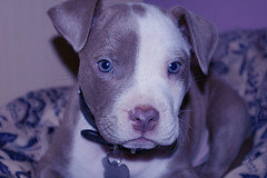 Boy named Blue! (judo_dad1953) Tags: animal puppy canine pitbull bluenose