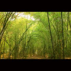 Bamboo forest (-clicking-) Tags: lighting light tree green nature forest landscape asia natural bamboo vietnam thala supershot tyninh vietnameselandscape bestcapturesaoi doubleniceshot tripleniceshot elitegalleryaoi