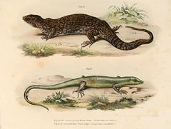 n80_w1150 (BioDivLibrary) Tags: harvarduniversity amphibians reptiles mcz ernstmayrlibrary pictorialworks bhl:page=4024127 dc:identifier=httpbiodiversitylibraryorgpage4024127