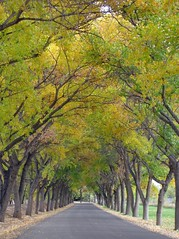 04.11.2011 (308/365) Down A Leafy Lane (Helen Orozco) Tags: newmexico fall season lane corrales avenue leafy landofenchantment