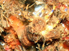 #503 slipper lobster () (Nemo's great uncle) Tags: geotagged underwater sealife lobster  slipperlobster slipper izu atami   eastizu hatsushima  regalis shizuokaprefecture   arctidesregalis arctides geo:lon=139166222  geo:lat=35041592
