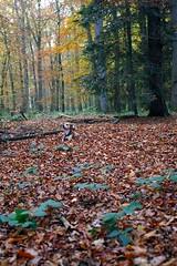 Getarnt (anirbas_84) Tags: autumn trees tree fall herbst natur camouflage wald bltter bume baum ammerland tarnung wildenloh