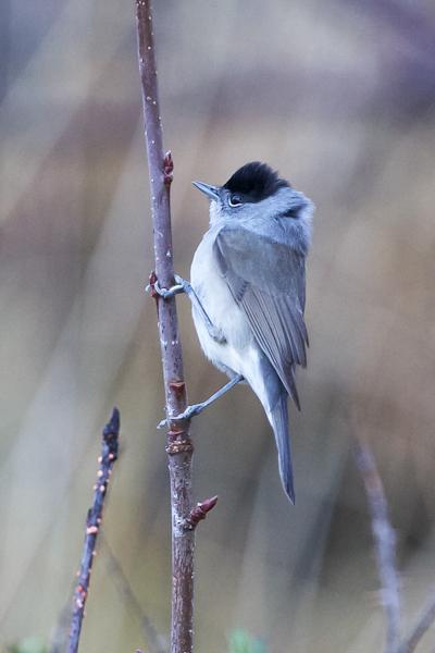 Blackcap - Sylvia atricapilla - Hettusöngvari (male)