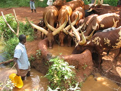 Ankole cattle drinking water
