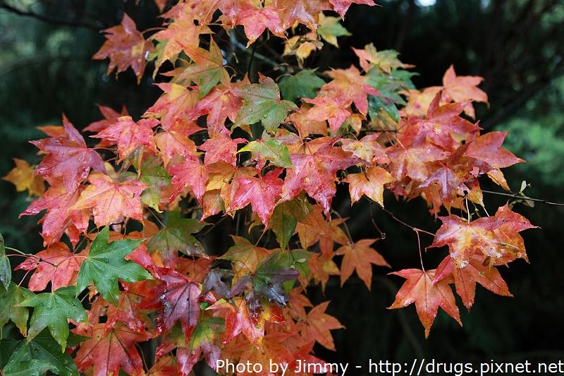 2011 武陵農場 楓葉紅