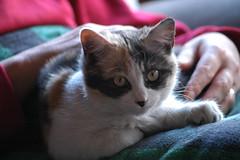 Hola, sóc la Xina! / Hi, I'm Xina! (visol) Tags: kitten gatita xina chaton gateta