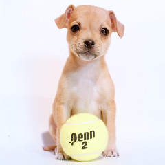 Lillith had a great Saturday! (Immature Animals) Tags: arizona rescue dog baby white chihuahua scale animal ball hair puppy big wire puppies desert tucson adorable ears wirehaired pima tennis terrier bark pekingese adopt neuter spay koalition pacc