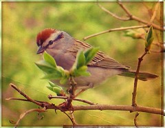 Bird  - Chipping Sparrow (blmiers2) Tags: bird nature beautiful birds canon geotagged wildlife powershot sparrow g6 avian chippingsparrow emberizidae passeriformes spizellapasserina backyardbirds birdphoto blm18 blmiers2