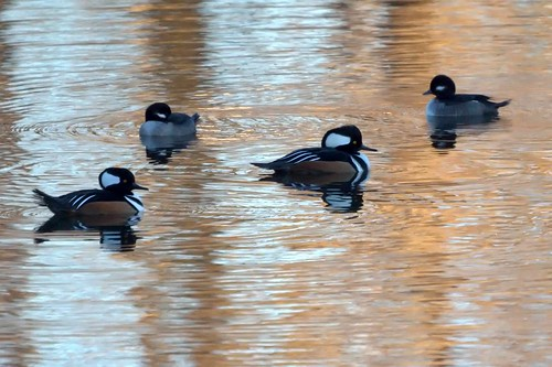 Hooded Mergansers (male) and Buffleheads (female)