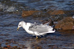 Gull ~♥~ (ஐ ~❀ ~ Sharon ~❀~ ஐ) Tags: autumn sea bird water wind gull ♥ 2011