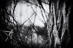 Not Out of the Woods Yet... (lynn.h.armstrong) Tags: camera bw white ontario canada black tree art grass forest silver out lens geotagged photography photo interesting mac weeds aperture woods nikon long flickr zoom bokeh branches south grain wb images lynn h bark trunk getty pro nik nikkor armstrong stormont vr licence afs request dx sault attribution ingleside 2011 ifed 18200mm f3556 noderivs vrii efex d7000 lynnharmstrong