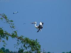 Grey Pelican making a nest (Nara J) Tags: india birds pelican migratory tamilnadu spotbilledpelican vedanthangal greypelican