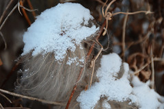 Snow on Fluff (pokoroto) Tags: november autumn snow canada calgary fall fluff alberta  11 2011    shimotsuki  frostmonth jichigatsu 23