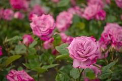 Old Master Rose (Karen Cheverall) Tags: pink flowers newzealand roses macro wellington oldmaster botanicgardens ladynorwoodrosegarden