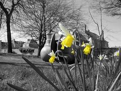 Daffies (ianharrywebb) Tags: edinburgh daffodils iansdigitalphotos kolbenneblok blinkagain yahoo:yourpictures=wildlife yahoo:yourpictures=nature