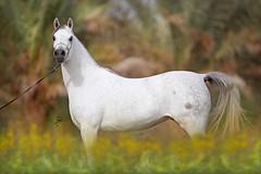 Arabian Horses (HANI AL MAWASH) Tags: art animal photo al kuwait hani  1color artphoto      animalkingdomelite mywinners  colorphotoaward aplusphoto kuwaitphoto   almawash almwash kuwaitartphoto kuwaitart  mawash magicunicornverybest