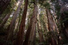 Giants (sixbysixtasy) Tags: sanfrancisco california trees usa nature forest landscape nikon muirwoods giants redwoods nationalmonument d700 thesublime