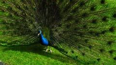 DSCF1024 (ste1athome) Tags: birds peacock mossbank