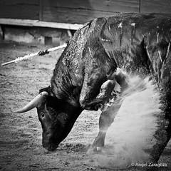 Toro (Macuache) Tags: plaza bw animal angel canon mexico sand bn arena zaragoza toros horn mad bullfight vignette corrida f4 mexicali 1x1 tierra 70200mm fuerza cuerno calafia enojo t2i macuache