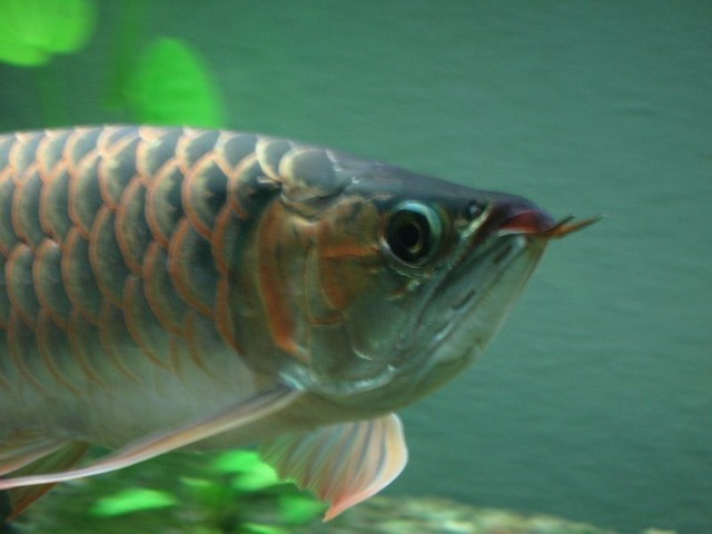GOLDEN VILLAGE Arowana