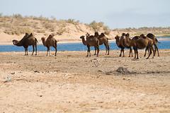 M33322_Camels_Uzbekistan (aamengus) Tags: lake see lac camels chameau chameaux llens ef70200mmf4lisusm  aydarkul