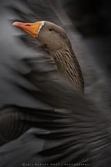 Grauwe gans | Anser anser (Hybride) (Marijke M2011) Tags: birds ngc vogels ganzen npc specanimal allnaturesparadise artistoftheyearlevel3 artistoftheyearlevel4 musictomyeyeslevel1 artistoftheyearlevel5