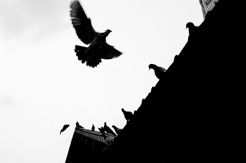 Pigeon in flight, Little India, Singapore
