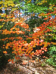 Right outside my window - NH Fall Foliage Bests 10/11/2011 (catchesthelight) Tags: blue autumn trees light sky orange plants fall colors beauty leaves yellow flora nh fallfoliage colourful itsmulticolored fallfoliagephotography