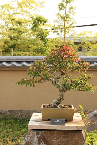錦木 Nishikigi (Spindle Tree) - 盆栽美術館 - bonsai museum