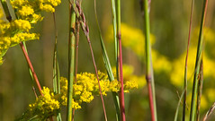 Intertwining. (terranoesis) Tags: autumn flora native goldenrod prairie tallgrass bigbluestem fornature scpac