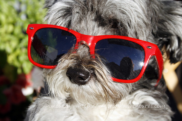 immagine di buon lunedi' con cane con occhiali da sole