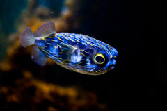 Blue Fish (pandawizard) Tags: blue fish nature prime zoo aquarium pentax wildlife 14 sigma melbourne tropical ist tropicalfish ds2 30mm top20fish matchpointwinner