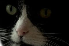 A cat's nose (Kitty Terwolbeck) Tags: portrait white black animal cat nose eyes kat whiskers smell stare ogen staring portret zwart wit dier blik kop neus pupillen snorharen katteogen