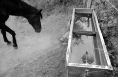 Horse (padesig) Tags: horse m42 rodinal canoscan 125 pentaxmx vuescan r09 8600f film:iso=400 legacypro developer:brand=agfa agfar09oneshot developer:name=agfar09oneshot film:brand=freestylearista freestylearistalegacypro film:name=freestylearistalegacypro400 filmdev:recipe=7153