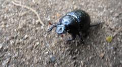 bluebeetle 2 (najork) Tags: insect beetle danish scarab bornholm ble