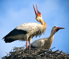 Storks in nest (edwindejongh) Tags: nature animals neck tiere couple open nest pair natur feathers morocco animaux ooievaars dieren storks oiseaux nek twoofakind snavel loiseau takjes friendoffriends dierenfotografie