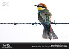 European Bee-eater (Merops apiaster) (suhaaz Kechery) Tags: meropsapiaster europeanbeeeater europeanbeeeatermeropsapiaster birdsofqatar suhaazkecheryphotography