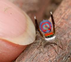 _MG_0410 (3) peacock spider Maratus splendens (Jurgen Otto) Tags: spider arachnid australia jumper jumpingspider salticidae splendens peacockspider maratus macrolife