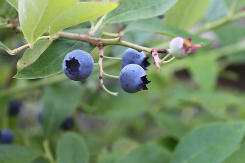 backyard blueberries
