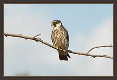 Hobby (Full Moon Images) Tags: bird nature project wildlife great reserve hobby national trust prey fen cambridgeshire birdofprey woodwalton