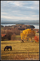 Last day of October (mmoborg) Tags: autumn horses lake fall leaves yellow sweden sverige gul höst sjö hästar löv 2011 mmoborg mariamoborg